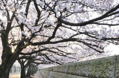 照手通りの桜 (足羽川北側)