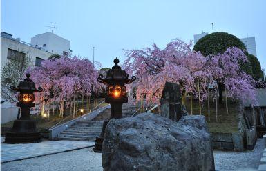 佐佳枝廼社の「しだれ桜」